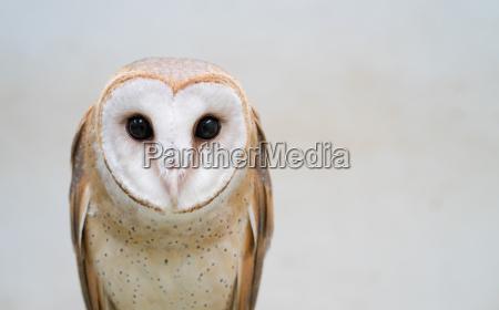 common, barn, owl - 18941695