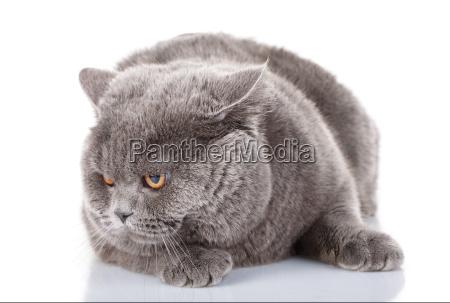 angry big gray cat british straight