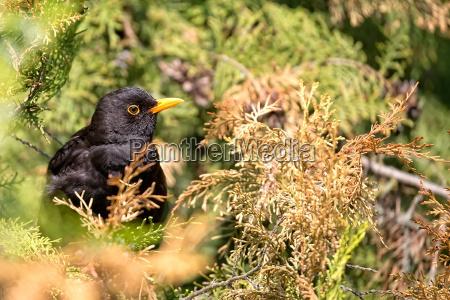 common blackbird in the wild