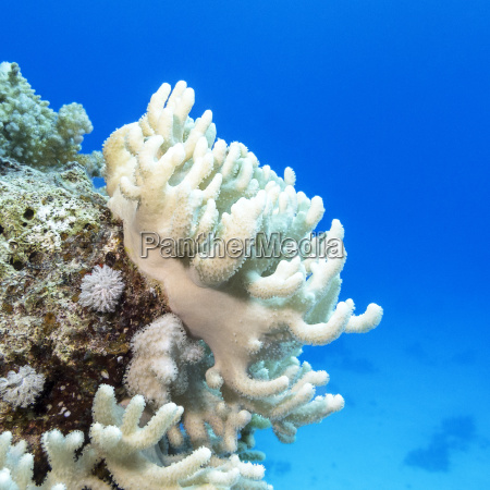 coral reef with white turbinaria
