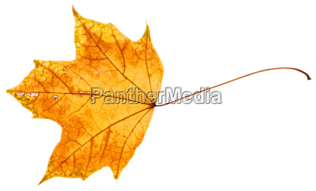 yellow and orange autumn leaf of