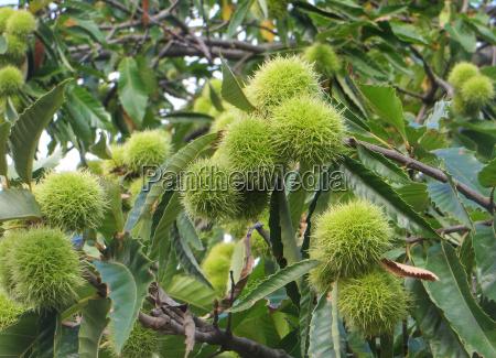chestnuts chestnut