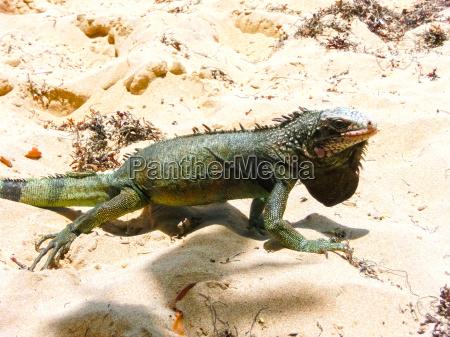 iguana on white sand beach in
