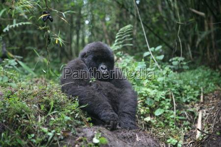 wild gorilla animal rwanda africa tropical