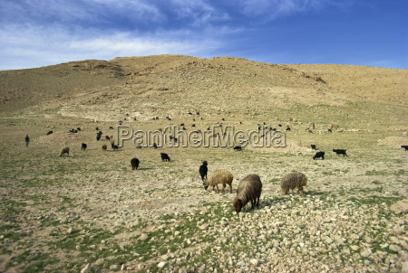ovejas pastando en el paisaje agricola