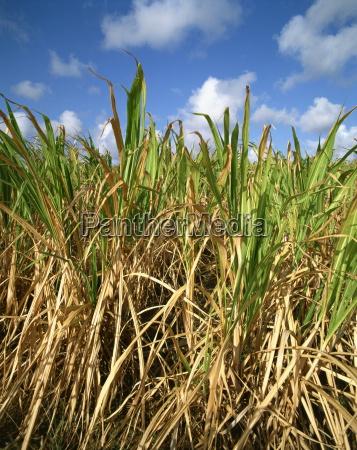 la canya de azucarbarbadosantillascaribeamerica central