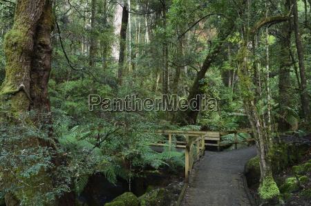 walkway through temperate rainforest mount field