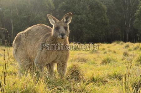 eastern grey kangaroo geehi kosciuszko national