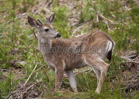 mule deer odocoileus hemionus mariposa grove
