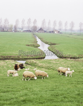 sheep and farms on reclaimed polder