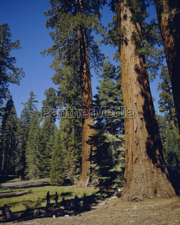 giant sequoia trees mariposa grove near