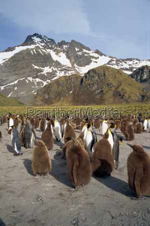 king penguins and chicks in a
