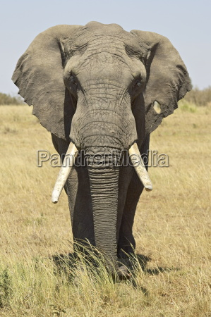 front view of african elephant loxodonta