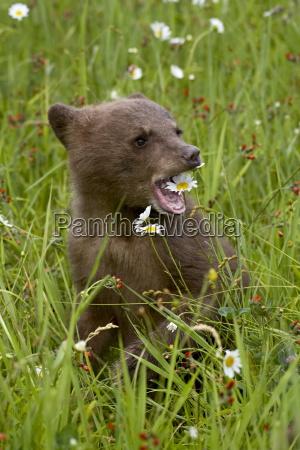 grizzly bear ursus horribilis cub in