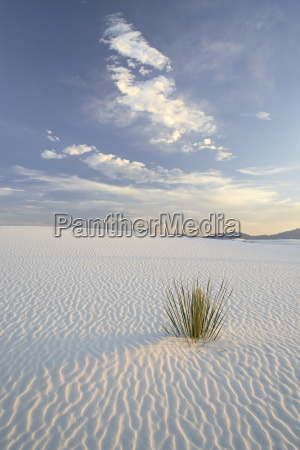 yucca growing in rippled sand white