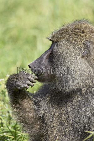 olive baboon papio cynocephalus anubis eating
