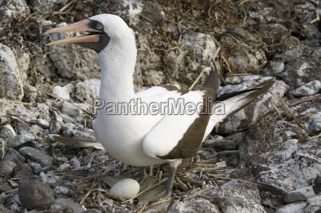 nazca booby nesting espanola island galapagos
