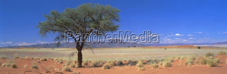 camel thorn tree in desert landscape