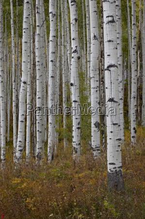 aspen trunks in the fall white