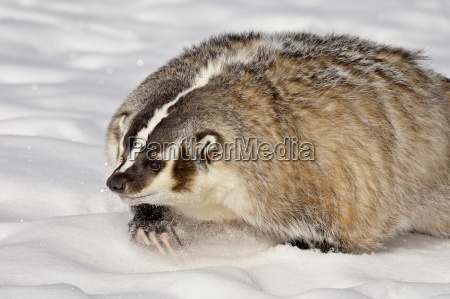 badger taxidea taxus in the snow