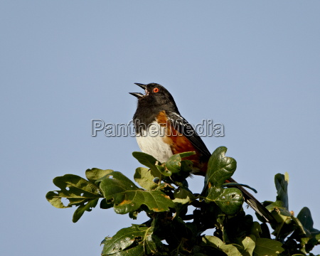 spotted towhee pipilo maculatus calling near