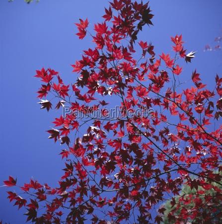 autumn maple leaves against a blue