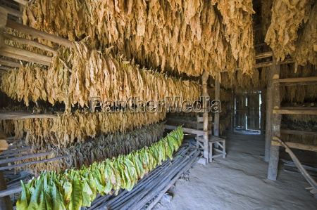 tobacco leaves hung up to dry