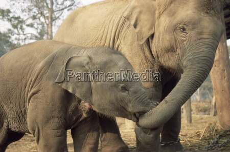 captive asian indian elephants india asia