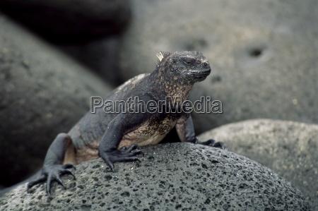 close up of a marine iguana