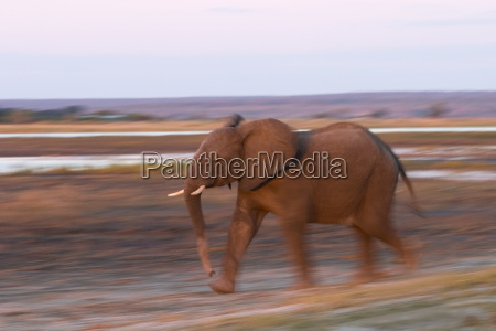 african elephant loxodonta africana chobe river