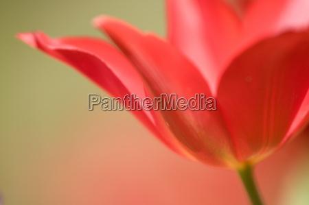 tulip tulipa spec bielefeld nrw germany