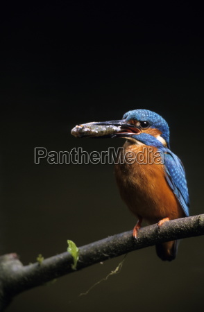 kingfisher alcedo atthis bielefeld nrw germany