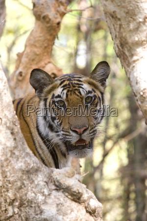 indian tiger bengal tiger panthera tigris