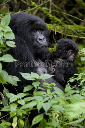 mountain gorilla gorilla gorilla beringei with