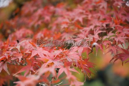 japanese maple kamakura central honshu chubu