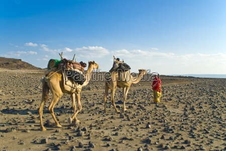 afar tribeswoman with camels on her