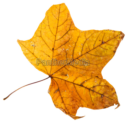 yellow dried leaf of maple tree
