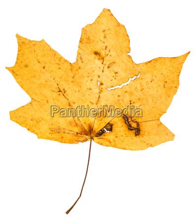 yellow fallen leaf of maple tree