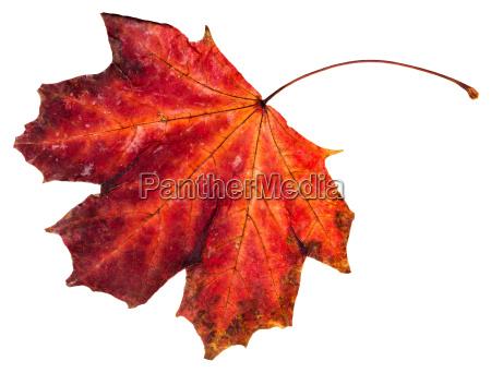 red fallen leaf of maple tree