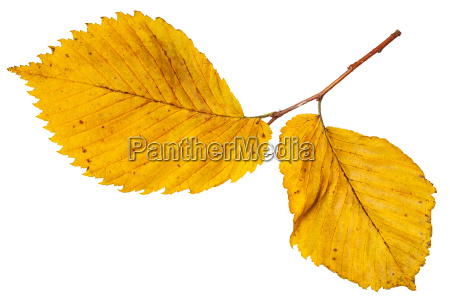 twig with yellow autumn leaves of