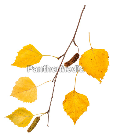 branch with yellow autumn leaves of