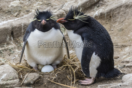 adult rockhopper penguins eudyptes chrysocome at