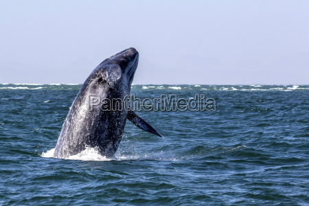 california gray whale calf eschrichtius robustus