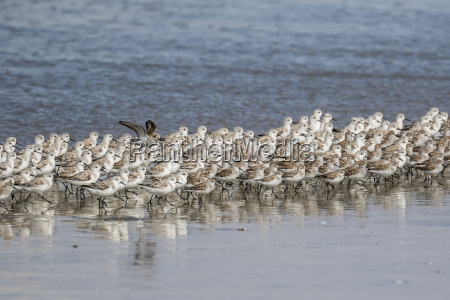 a flock of migrating sanderlings calidris