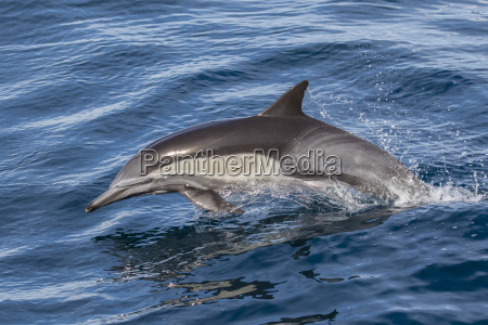 adult long beaked common dolphi delphinus
