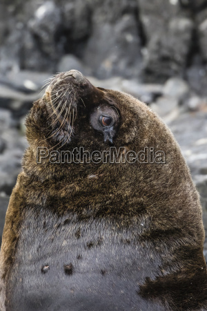 south american sea lion bull otaria