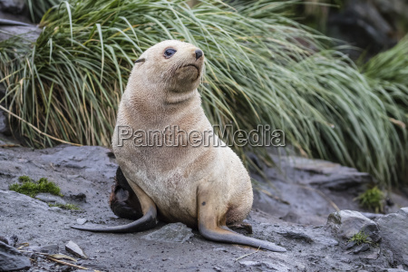 a young leucistic antarctic fur seal