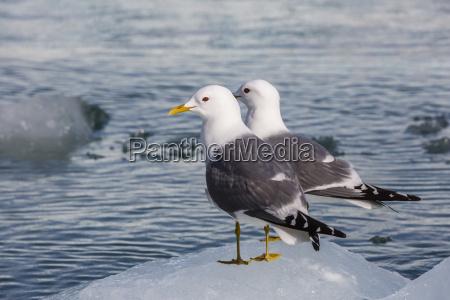 adult mew gulls larus canus on
