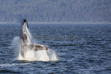 mother humpback whale megaptera novaeangliae breaching