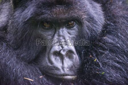 parque nacional africa retrato negro horizontalmente